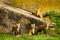 foxes2013_0050_1