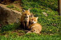 foxes2013_0095_1