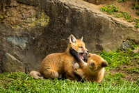 foxes2013_0123_1